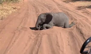 Ελεφαντάκι συναντάει τουρίστες και αυτό που κάνει είναι σκέτη τρέλα! (vid)