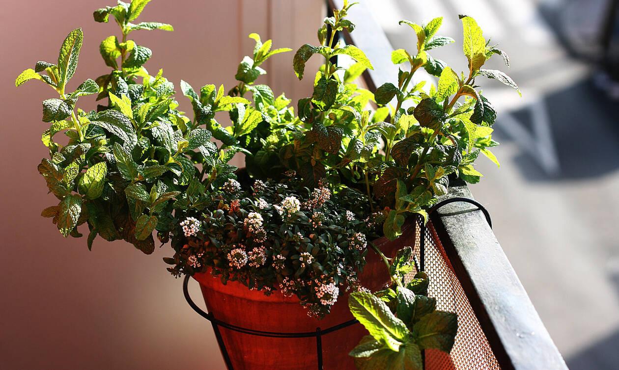 Μέντα: Γνωρίζετε γιατί πρέπει να έχουμε μια γλάστρα με αυτό το φυτό στο σπίτι μας; (video)