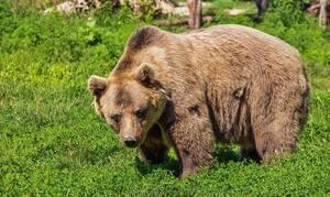 Καστοριά: Αρκούδα επιτέθηκε σε βοσκό - Σώθηκε από θαύμα