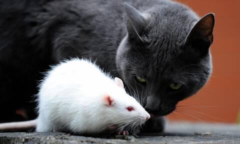 Γάτα εναντίον ποντικού: Το αποτέλεσμα δεν θα το πιστεύετε! (vid)