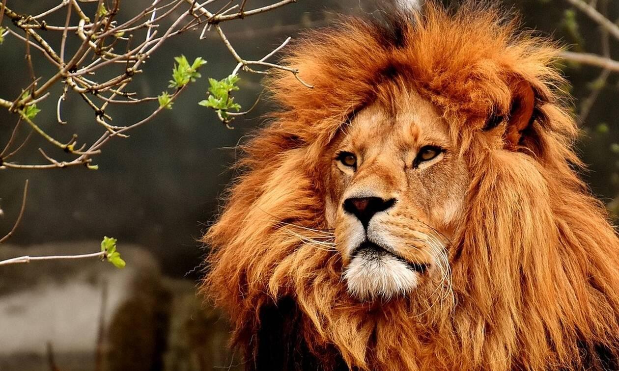 Τρόμος: Λιοντάρι όρμηξε στον εκπαιδευτή του - ΣΚΛΗΡΕΣ ΕΙΚΟΝΕΣ