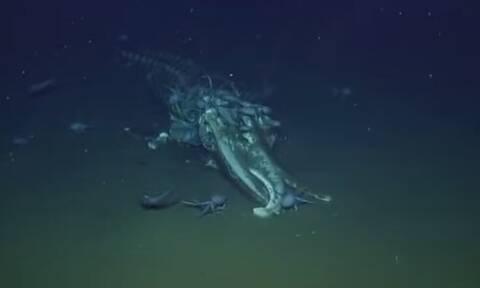 Τρομερό! Χταπόδια τρώνε το κουφάρι μιας φάλαινας (vid)