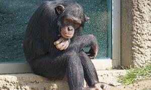 Συγκλονιστικό: Ετοιμοθάνατος χιμπατζής συναντά φίλο του και «ζωντανεύει» ξανά