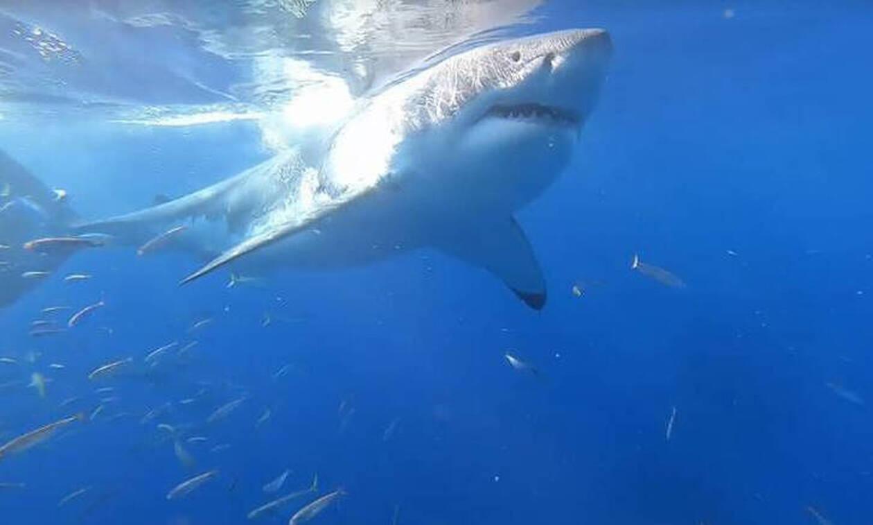 Συγκλονιστικό βίντεο: Κατάδυση μια… ανάσα από λευκούς καρχαρίες
