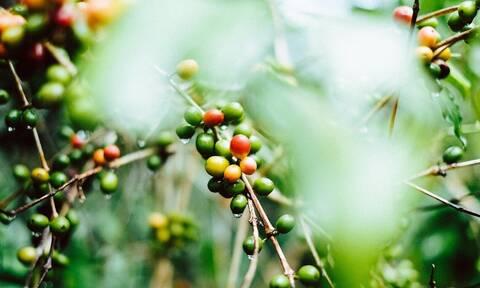 Dimello Home Blends: Όταν ο καφές φτάνει από το καφεόδενδρο κατευθείαν στο σπίτι μας