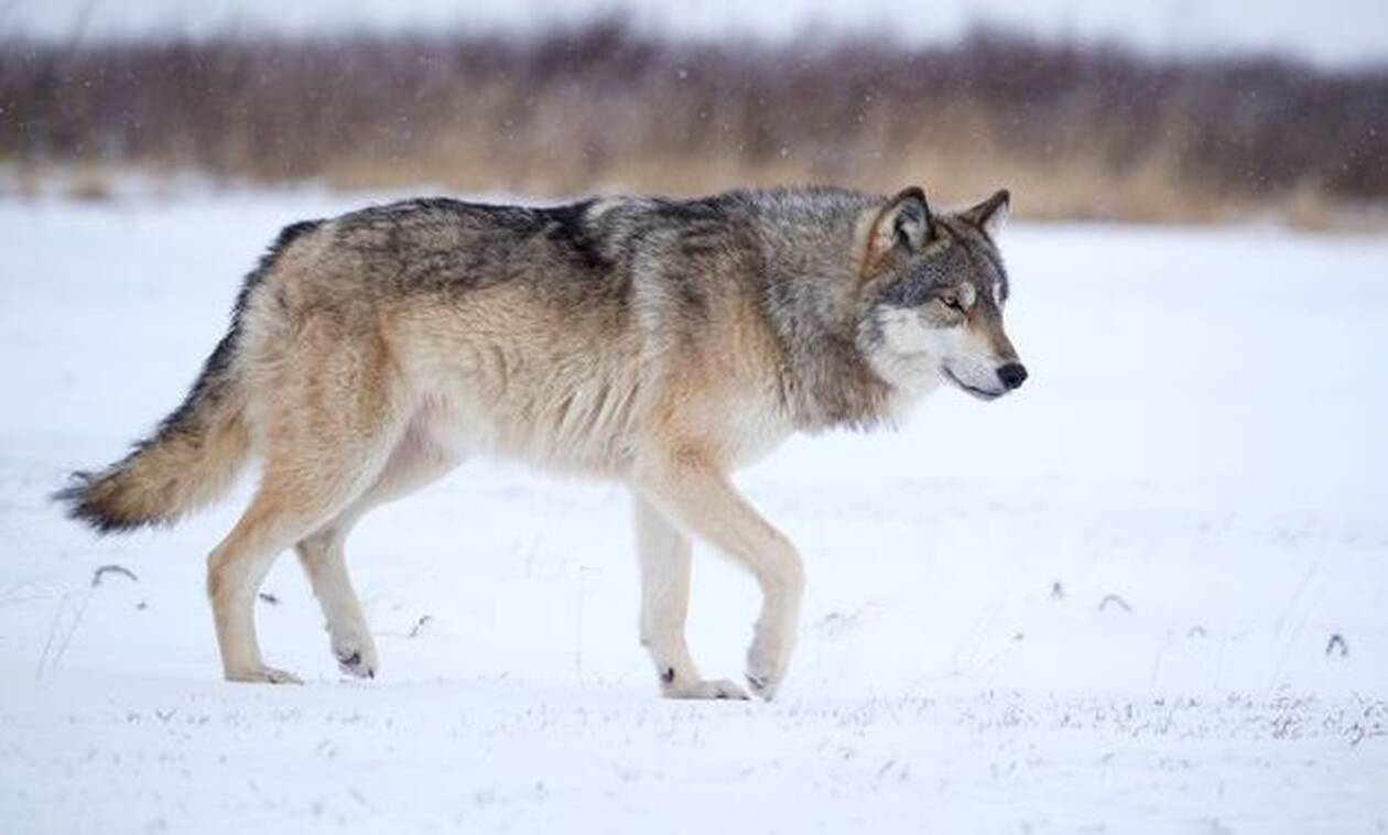 Σκύλος συναντάει λύκο στο δάσος - Αυτό που συνέβη δεν το περίμενε κανείς! (vid)
