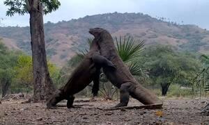 Επική μονομαχία δύο τεράστιων σαυρών για ένα θηλυκό! (vid)
