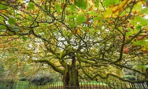 Η βελανιδιά ηλικίας άνω των 1.000 ετών που ανακηρύχθηκε δέντρο της χρονιάς στην Αγγλία (photos)