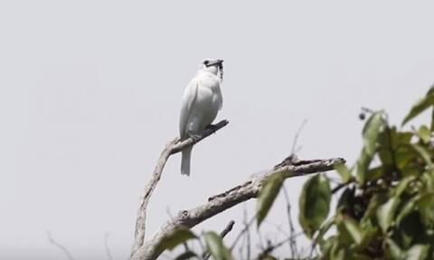 Το πουλί με τη δυνατότερη φωνή στον κόσμο - Έκανε ρεκόρ ντεσιμπέλ (video)