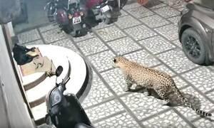 Επική μάχη: Λεοπάρδαλη επιτίθεται σε σκύλο - Βίντεο που κόβει την ανάσα
