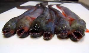 Αυτό είναι το μυστηριώδες θαλάσσιο πλάσμα που θυμίζει κάτι από... «Alien»