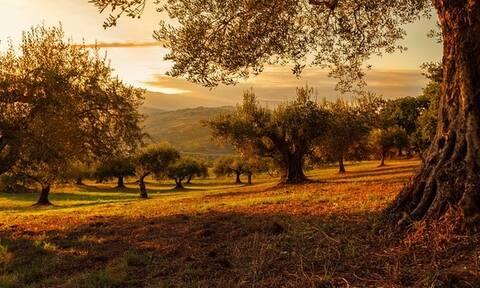 Απίστευτο: Έκλεβαν ελιές από ξένο χωράφι -Ζημιά τουλάχιστον 1.000 ευρώ