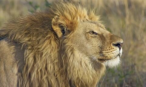 Τρόμος στη σαβάνα: Σκότωσαν αγέλη από λιοντάρια σε τελετή μαύρης μαγείας (pics)