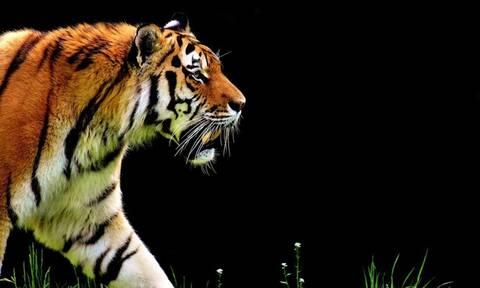 Έβαλαν χρυσά δόντια σε τίγρη – Εντυπωσιακές εικόνες (pics)