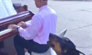 Ντόμπερμαν ακούει πιάνο και «ξεσαλώνει»