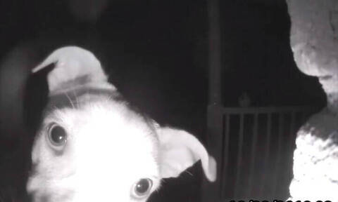 Απίστευτος σκύλος: Χτυπάει το… κουδούνι τα ξημερώματα γιατί τον είχαν ξεχάσει έξω
