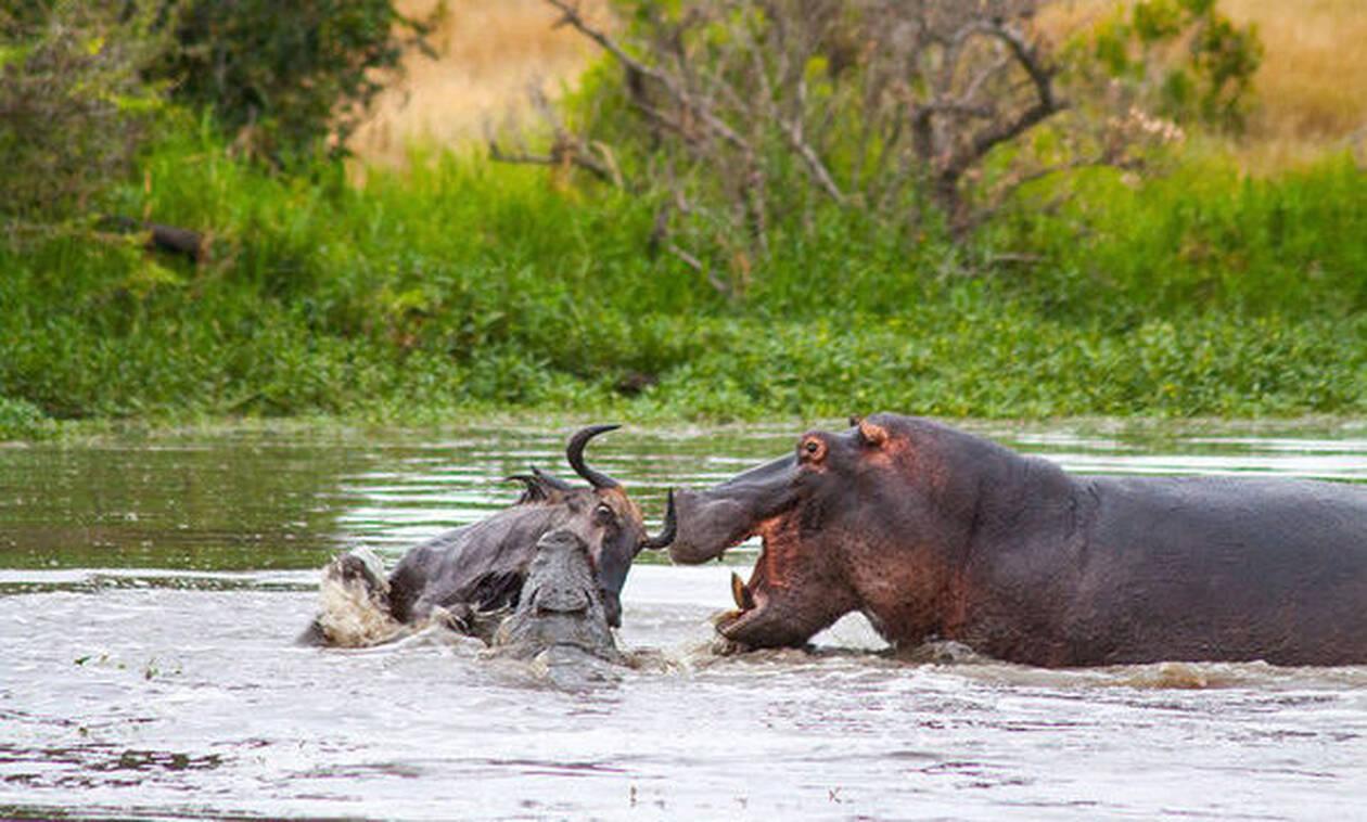 Iπποπόταμος «τσακίζει» κροκόδειλο για να σώσει το βουβάλι!