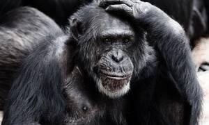 Πέταξε τσιγάρο σε κλουβί χιμπατζή - Θα πάθετε ΣΟΚ όταν δείτε τι έκανε (pics)
