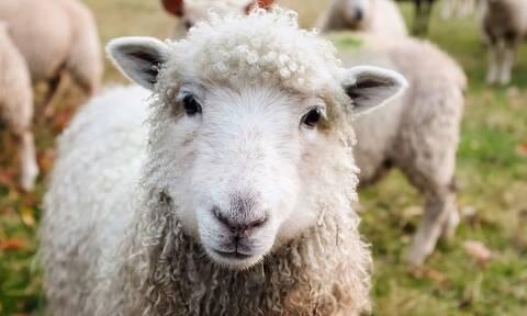 ΟΠΕΚΕΠΕ: Έρχεται χρήμα... για τους κτηνοτρόφους