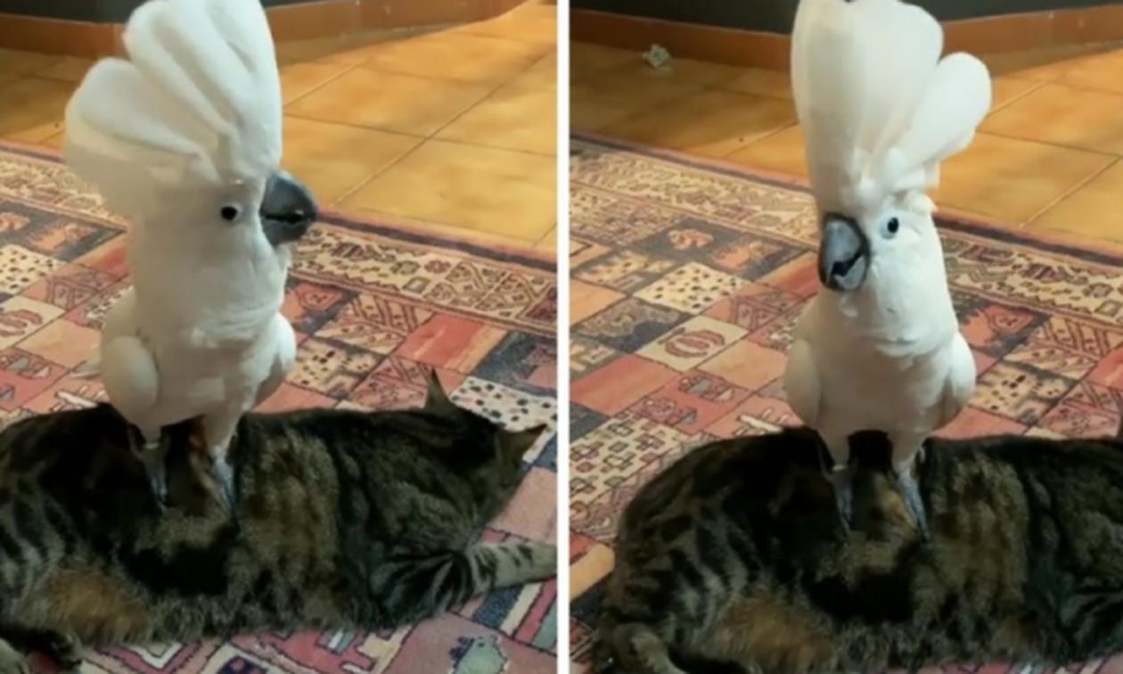 Παπαγάλος τρολάρει άσχημα την γάτα με… γάβγισμα! (vid)
