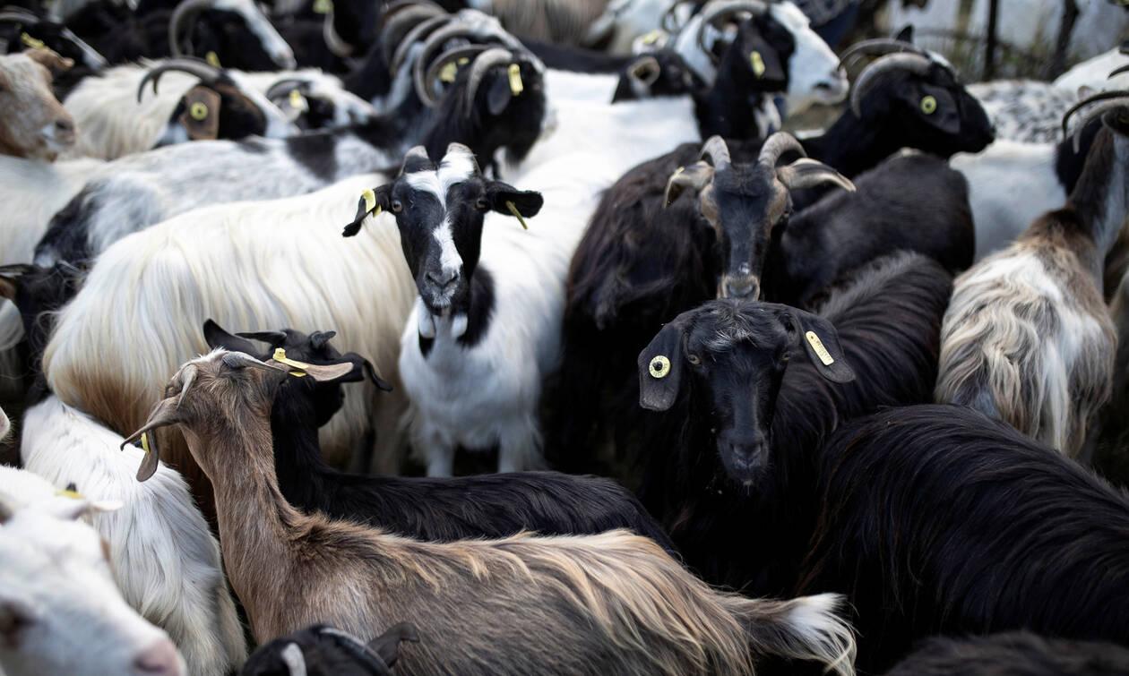 ΟΠΕΚΕΠΕ: Μέχρι 15/11 η απογραφή ζωικού κεφαλαίου για προκαταβολές βιολογικών