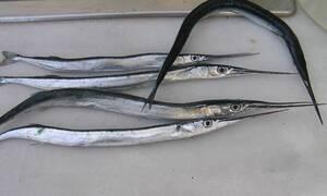 Αφωνος ο ψαράς! Επιασε ζαργάνα 1.5 κιλού και μόλις άνοιξε το στομάχι της έπαθε σοκ (photos)