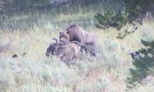 Πεινασμένη αρκούδα σέρνει βίσονα 800 κιλών με τα δόντια της! (vid)