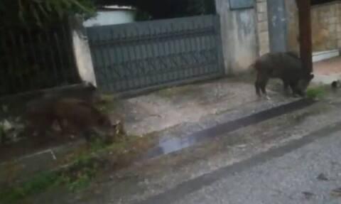 Απίστευτο βίντεο: Αγριογούρουνα βγήκαν… βόλτα στις γειτονιές της Ραφήνας