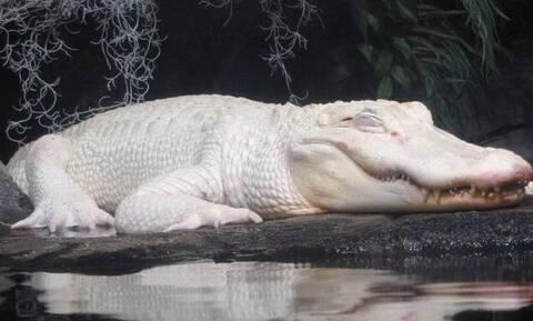Βίντεο: Ο άσπρος αλιγάτορας που θα σου σηκώσει την τρίχα… κάγκελο!