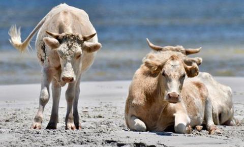 Αγελάδες «ναυαγοί»: Παρασύρθηκαν από τυφώνα - Βρέθηκαν σε νησί δύο μήνες μετά (pics)