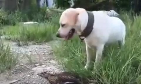 Επικό γέλιο! Η πάπια κάνει τον… ψόφιο κοριό σε σκύλο για να γλυτώσει - Η συνέχεια θα σας τρελάνει!