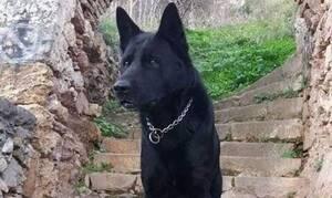Συγκίνηση στην ΕΛ.ΑΣ: Πέθανε ο Blacky, ο ηρωικός σκύλος της Αστυνομίας