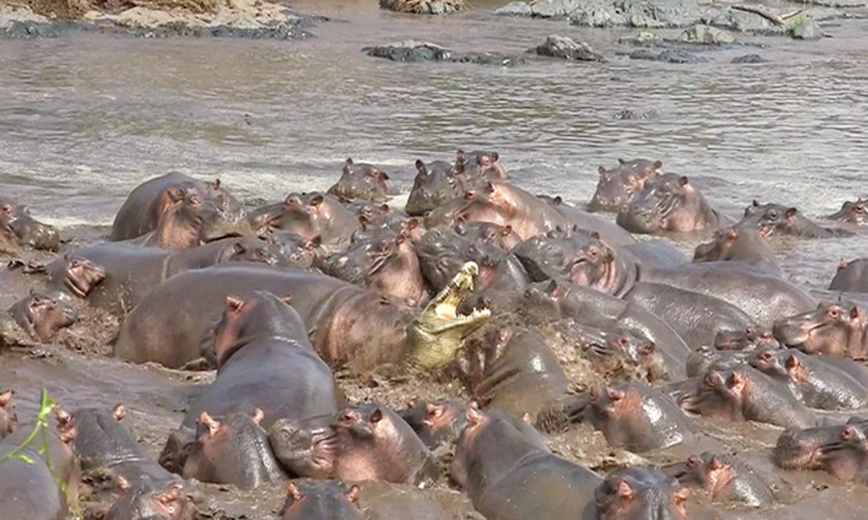 30 ιπποπόταμοι κατασπαράζουν κροκόδειλο (video)