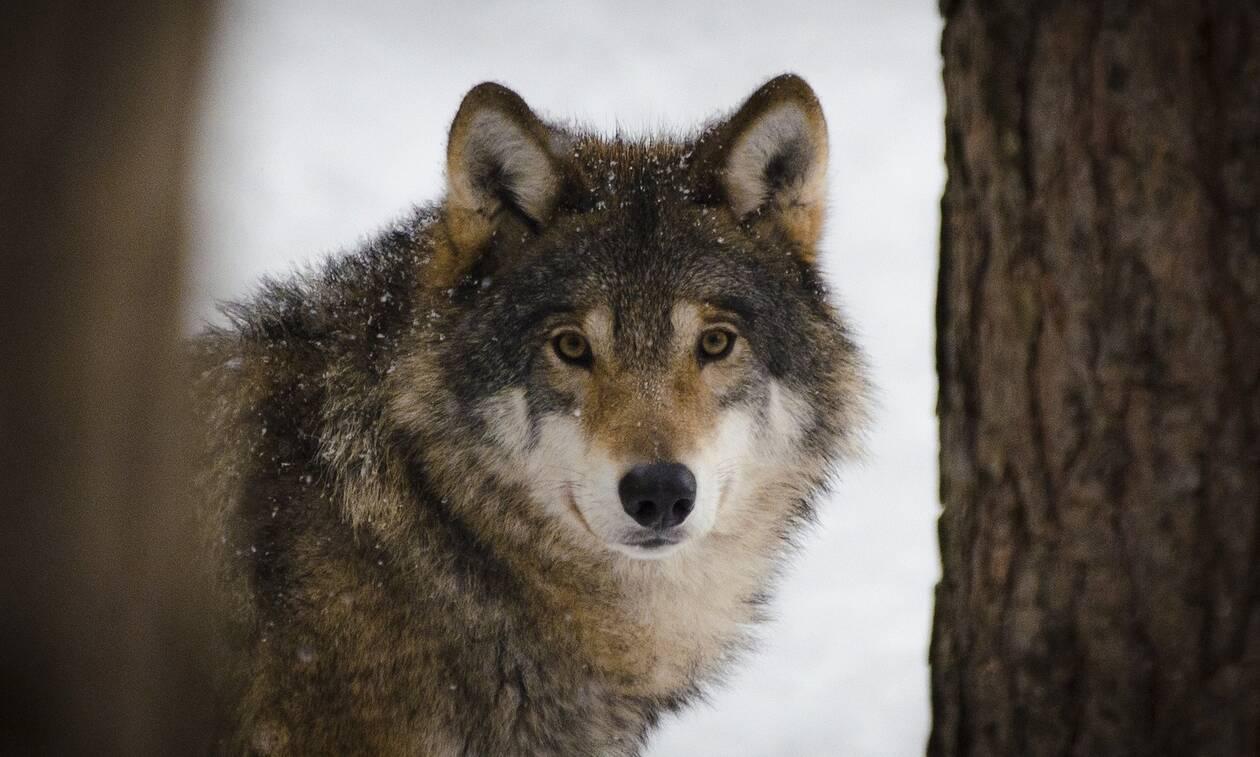 Κοζάνη: Κλειδώθηκαν στο καφενείο για να γλιτώσουν από τους λύκους (video)