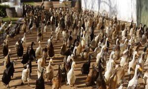 Η δικαιοσύνη μίλησε: Οι πάπιες θα μπορούν να συνεχίσουν να… κρώζουν