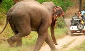 Ελέφαντας παίρνει στο κυνήγι τουρίστες! (vid)