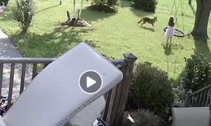 Απίστευτο βίντεο: Κογιότ επιτίθεται σε κοριτσάκι που παίζει στην αυλή