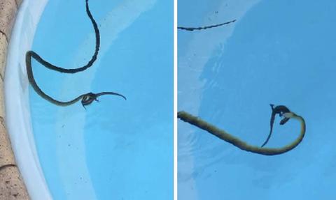 Βλέπει στην πισίνα του ένα φίδι με μια σαύρα στο στόμα! Σοκάρουν οι εικόνες που κατέγραψε... (video)