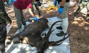 Βρήκαν νεκρό ελάφι: «Τα έχασαν» όταν είδαν τι είχε στο στομάχι του (pics)