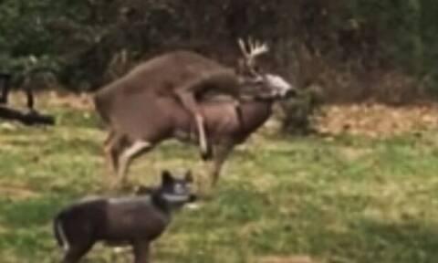 Βίντεο: Αρσενικό ελάφι κάνει έρωτα με… λάθος ελαφίνα!