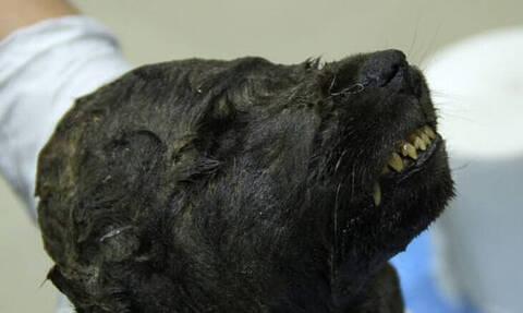 Είναι σκύλος ή λύκος; Πλάσμα 18.000 ετών «πονοκεφαλιάζει» τους επιστήμονες