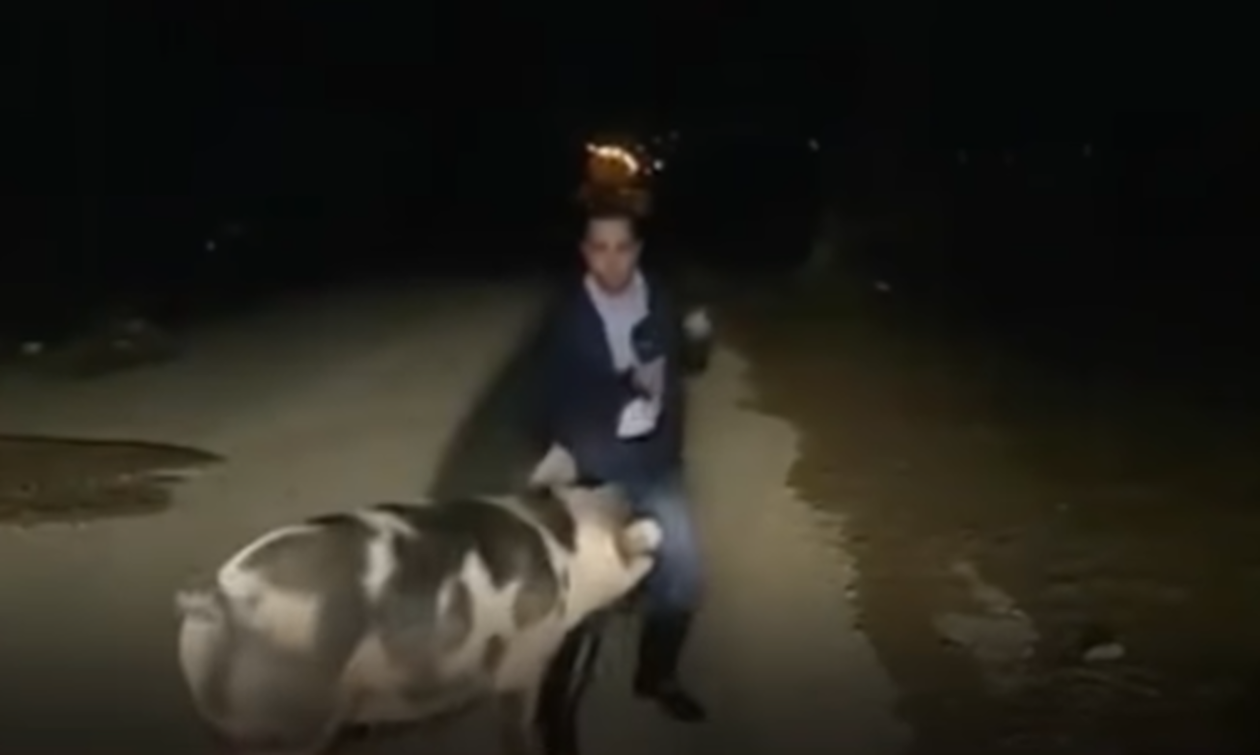 Свинья напала на греческого журналиста в прямом эфире (видео)