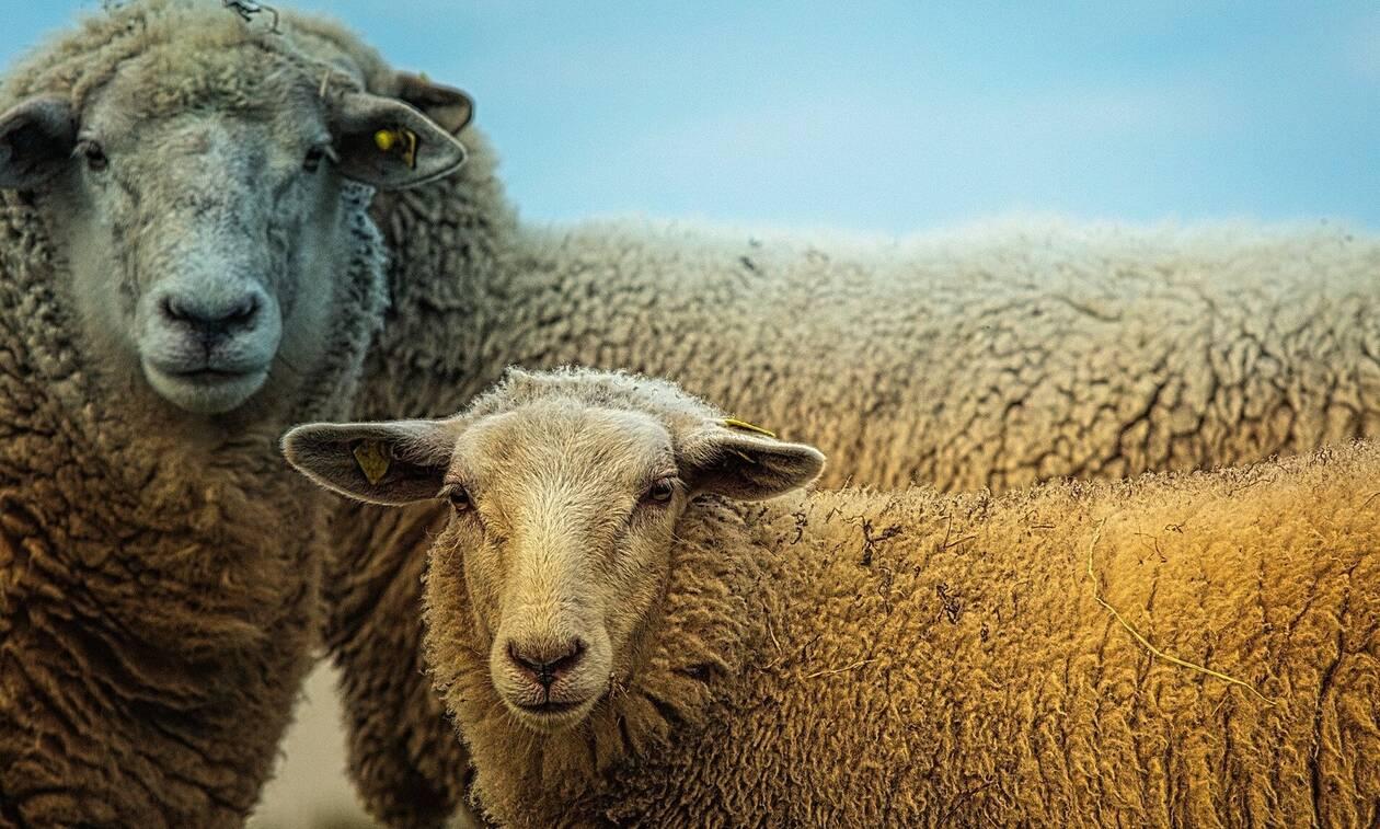 Σοκ σε χωριό: Κάτοικοι βρήκαν σφαγμένο πρόβατο με ζωγραφισμένες πεντάλφες (photos)