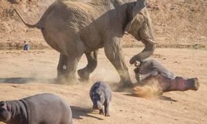 Βίντεο: Ελέφαντας με πολλά νεύρα δείχνει ποιος κάνει κουμάντο στην περιοχή!