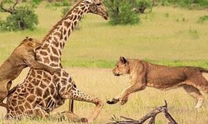 Βίντεο: Καμηλοπάρδαλη «κάνει καλά» ολόκληρη αγέλη λιονταριών