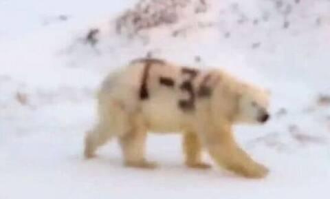 Θρίλερ: Αρκούδα βρέθηκε σημαδεμένη με «Τ-34» - Τι σημαίνει και γιατί ανησυχούν οι επιστήμονες (pics)