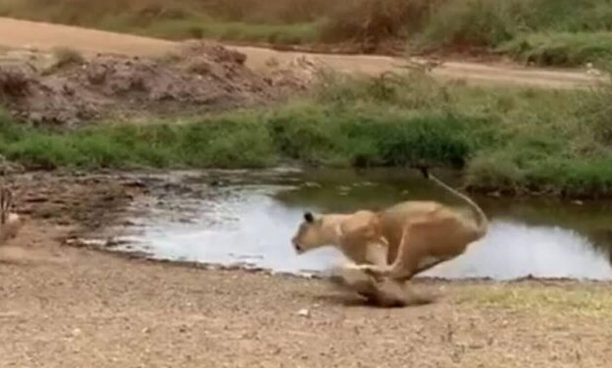 Βίντεο: Χαζούλικο λιοντάρι ορμάει σε αντιλόπη και γίνεται… Βέγγος!