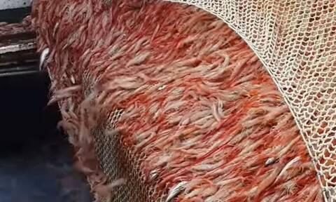 Ψάρεμα: Πιάνουν εκατομμύρια γαρίδες! Δείτε τι συμβαίνει στα... αμπάρια του πλοίου (video)