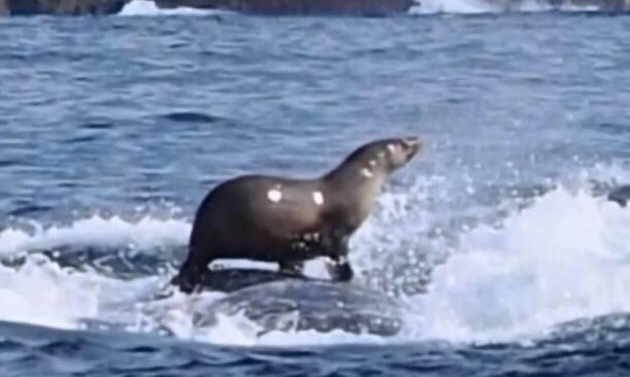 Φώκια καβαλάει την πλάτη φάλαινας και η συνέχεια είναι… αδιανόητη!