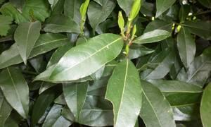 Τα φύλλα της δάφνης και το έλαιο που θα κάνει τα μαλλιά σας να λάμπουν. Πώς θα το φτιάξετε...